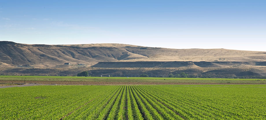 While Idaho isn't primarily an agricultural state, it does produce many cash crops like corn, potatoes (obviously), soybeans, mint, wheat, hops, barley, and others.